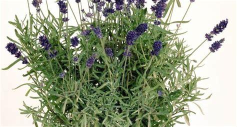 lavanda coltivazione in vaso lavanda semina aromatiche semina della lavanda