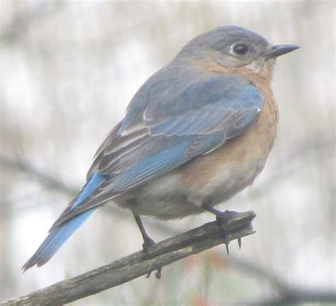 bluebird birds in sutton massachusetts