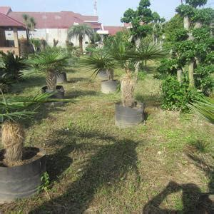 Bibitan Palem Jenggot jual pohon palem jenggot harga murah jual bibit tanaman dan jasa pembuatan taman