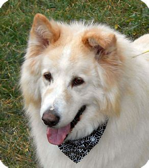 alaskan husky and golden retriever mix image gallery samoyed malamute