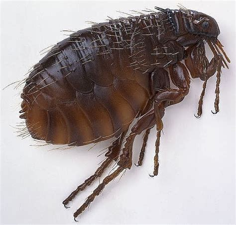 How To Get Rid Of Fleas In Carpet And Upholstery by How To Get Rid Of Fleas In Your Carpet With Borax And