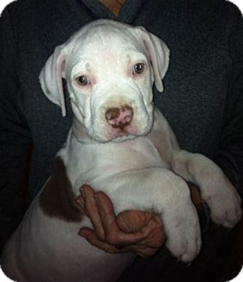 golden retriever american bulldog mix putter adopted puppy lake elsinore ca american bulldog labrador retriever mix