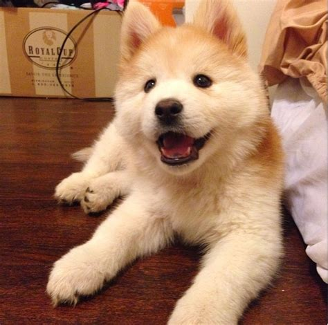 chow husky mix puppies for sale chow chow husky mix puppies breeds picture