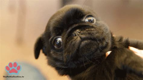 pug running gif pug gifs find on giphy