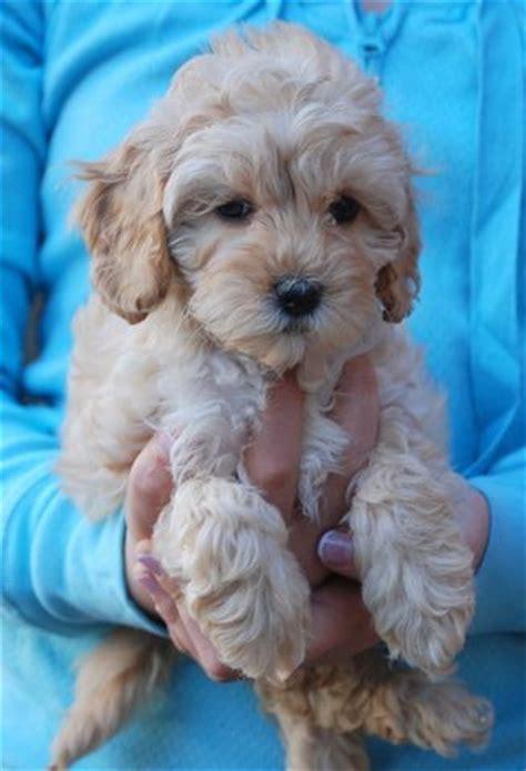 cheap labradoodle puppies for sale mini austr lab poodle mix dogs dogs dogs and some puppies poodles