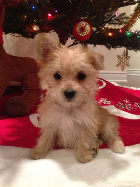 morkie maltese yorkie mix 17 best images about morkie s on puppys yorkie and i want