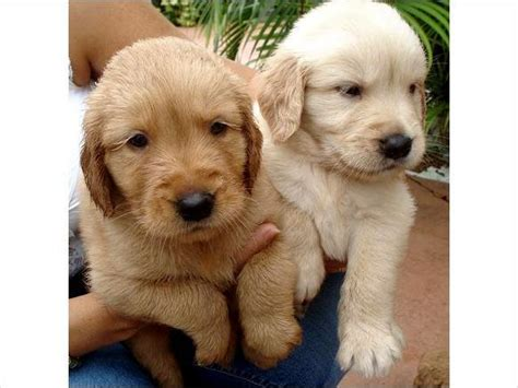 golden retriever puppies for sale in bc golden retriever puppies for sale for sale in abbotsford