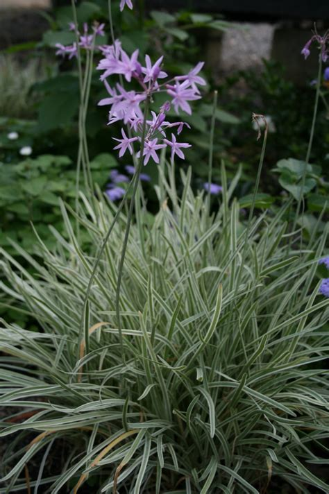 Variegated Foliage Plants - tulbaghia violacea variegated common name variegated society garlic 150mm pot dawsons