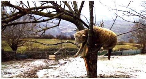 mucche volanti pecore e mucche volanti nell alto molise le bufale