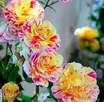 Jual Bibit Paprika Unggul jual benih bibit bunga mawar budidaya tanaman