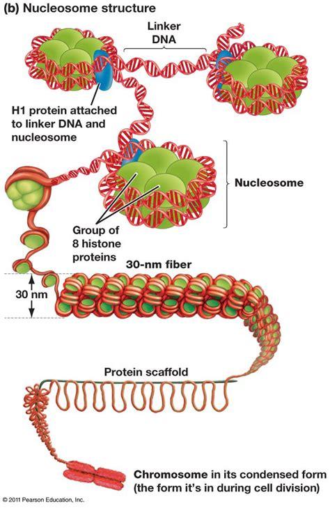 chromatin diagram image gallery nucleosome dna model