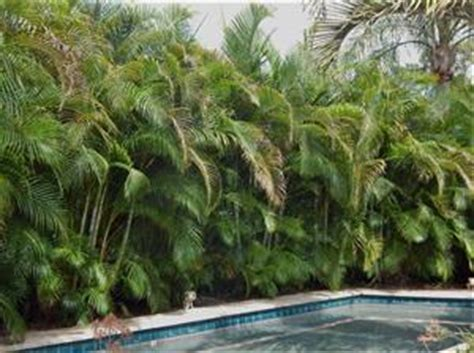 Simple Pool House by The Areca Palm Dypsis Lutescens