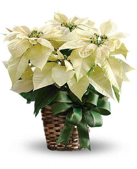 white poinsettia plants white poinsettia plant basket teleflora com