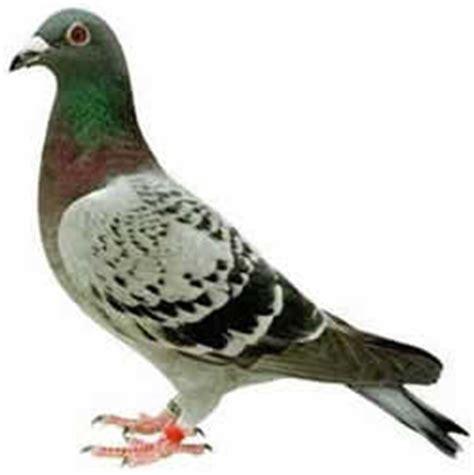 alimentazione piccioni colombo o piccione