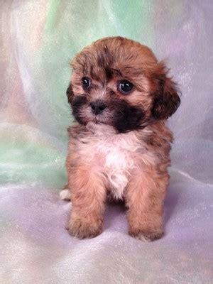 teddy puppies for sale in florida teddy breeders with teddy puppies for sale at lower prices than teddy