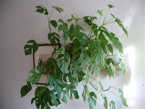 Plante Verte D Appartement Photo by Plante Retombante Plante Verte Retombante Plante Verte D
