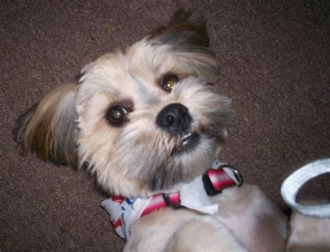 lhasa apso and yorkie mix yorkie apso breed information and pictures