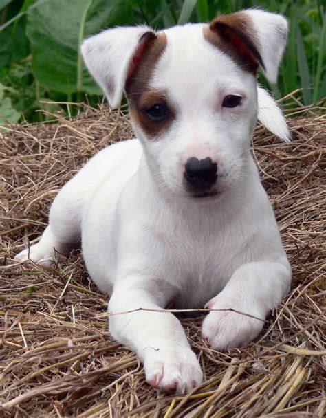 russel terrier puppy terrier breed 187 information pictures more