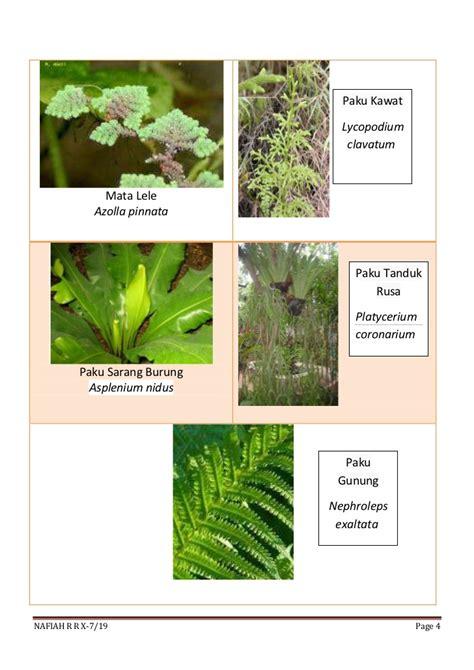 Paku Payung Paku Pinus Paku Pencet by Contoh2 Tumbuhan Klasifikasi