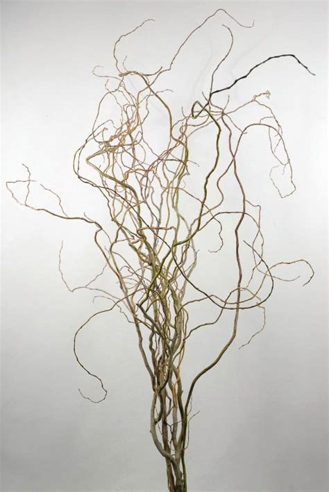 curly willow bunch 6 branches with stems 5 foot 15