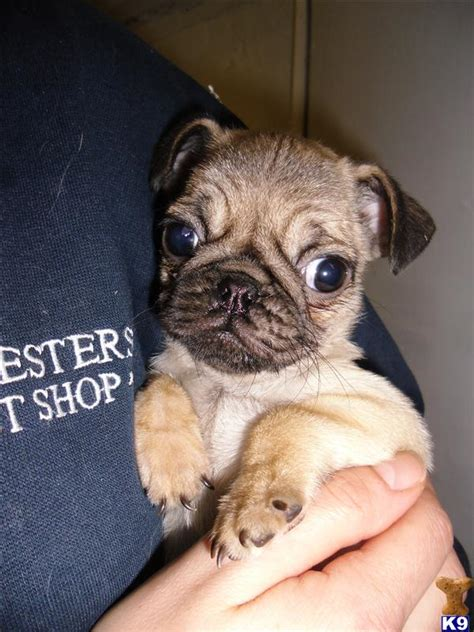 pug respiratory problems jug puppies pug x terrier 8 weeks ready now 35501
