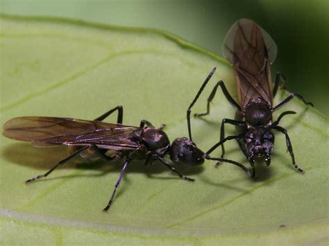 formiche volanti le formiche alate il mondo delle formiche vendita e