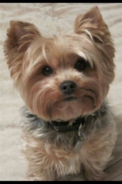 puppy haircuts for yorkie maltese mix yorkshire terrier energetic and affectionate yorkies