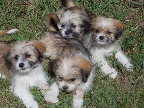 chihuahua and shih tzu puppies look like tzu will look like grown breeds picture