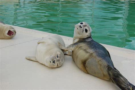 Seehunde in der Nordsee vor Norderney   Norderney ... Seehund