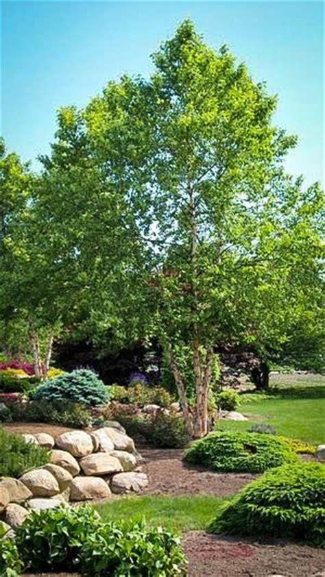 river birch  sale   tree center