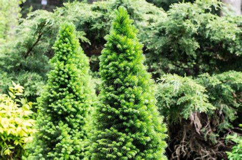 L Use Im Garten 3980 by Nadelb 228 Ume Stockfoto Bild Fichten Bl 228 Tter Garten