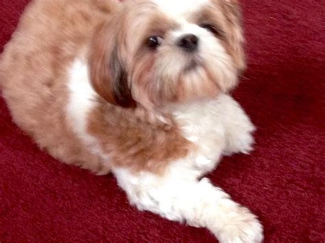 yorkie puppies for sale in pasadena tx shih tzu puppies for sale page 2 akc marketplace