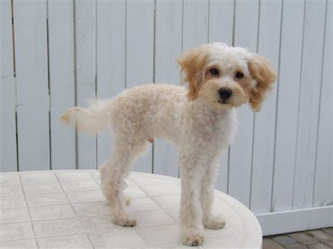 Does A Maltipoo Shed by This Particular Maltipoo Owner Decided To Give Its Puppy A