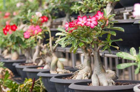 Membuat Bonsai Adenium cara menanam dan merawat bunga adenium tanamania