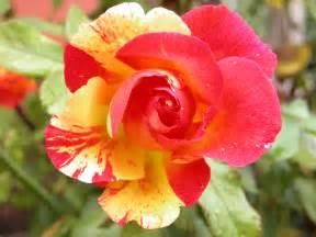 iowa state flower www galleryhip com the hippest pics