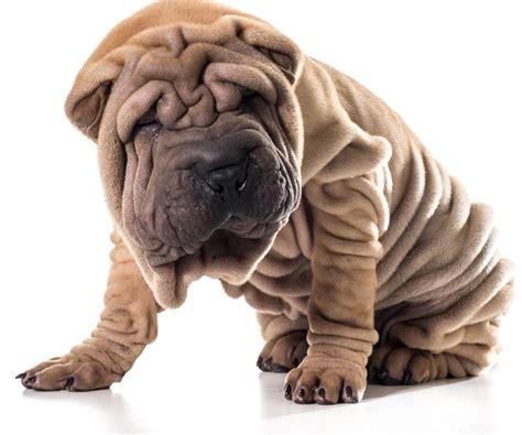 miniature shar pei puppies miniature shar pei