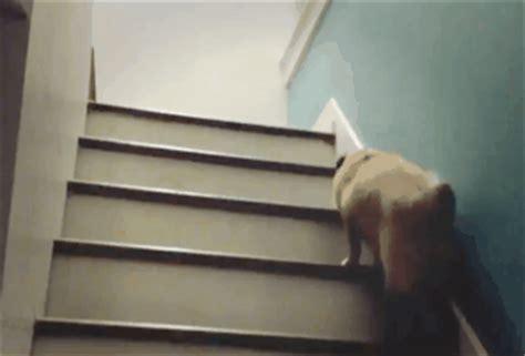 pug stairs like a awesome gif wifflegif