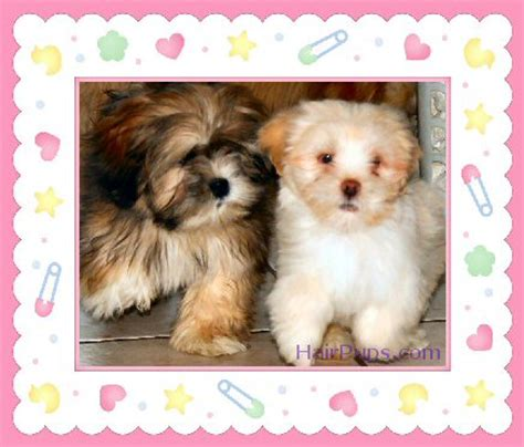 puppyfind havanese akc havanese puppies for sale in seattle area breeds picture