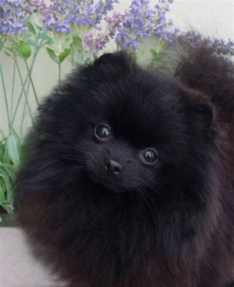 what colors do pomeranians come in best haircuts for pomeranians hairstyle gallery