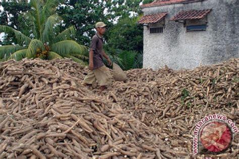 Tepung Singkong Pakan Ternak as singkong untuk pakan ternak antara news