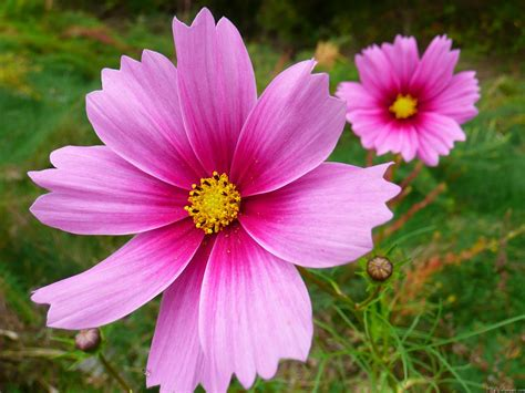 mlewallpapers com pink cosmos flowers