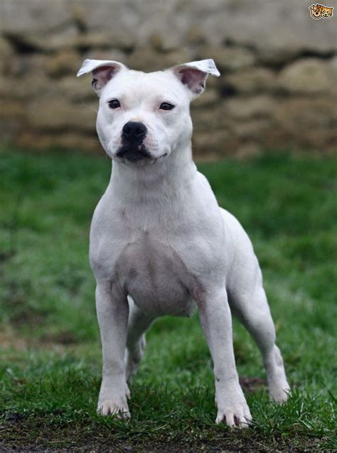staffordshire bull terrier puppies staffordshire bull terriers temperament colours pets4homes
