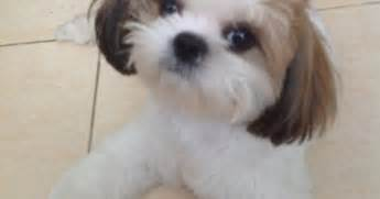shih tzu chatter two looking neat and sharp after his haircut shih tzu hair cuts