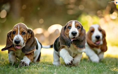 beagle basset puppies puppies basset hound three dogs wallpapers 1920x1200