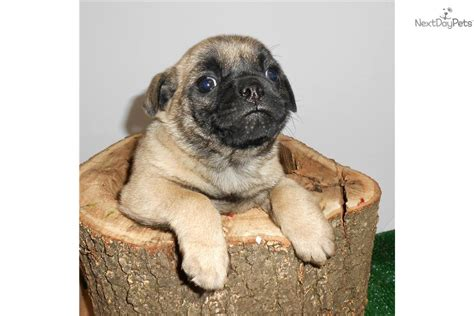 pugs for sale in illinois chicago quot mugsy quot pug mix pug puppy for sale near chicago illinois 5808eabe d511