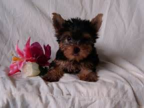 Puppies For Sale Pruitt S Yorkie Puppies For Sale