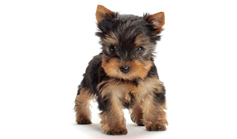 yorkie puppy facts terrier breed information