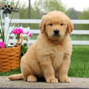 golden retriever puppies for sale 300 golden retriever puppies for sale