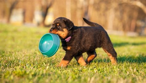 best food for a rottweiler best food for rottweilers 5 vet recommended brands