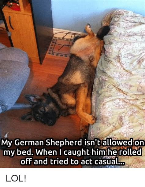 Funny German Shepherd Memes - funny german shepherd memes of 2017 on sizzle dog meme
